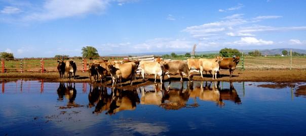 Jersey Cows on Break